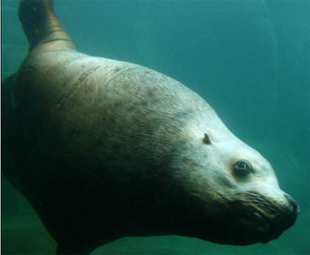 14-ft. 2400-lb. Stellar sea lion male checks me out from about 18 inches from the camera dome